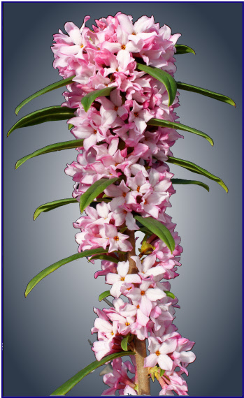attractive Daphne hybrid with masses of pink flowers