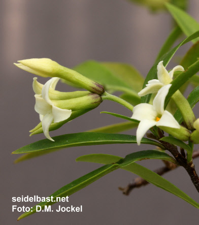 Daphne longilobata the base of the calyx tube can have different colour intensities, 'langlappiger Seidelbast'