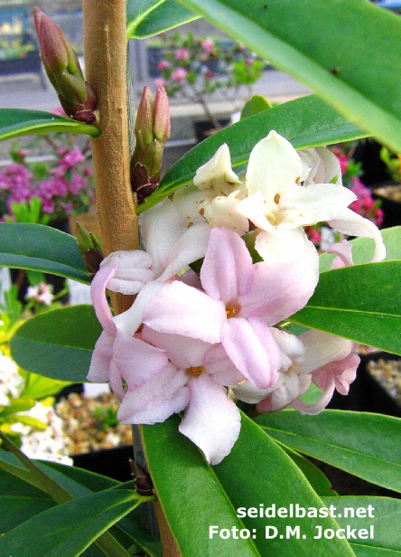 Daphne wolongensis 'Miya Lou', flowers close up, 'Wolong Seidelbast'