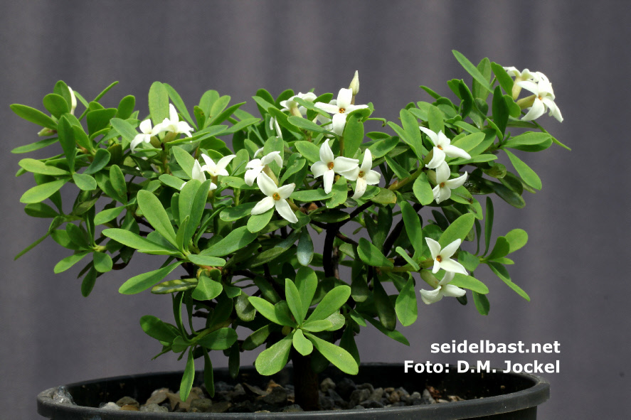 Daphne malyana potted plant with flowers , 'Maly's Seidelbast'