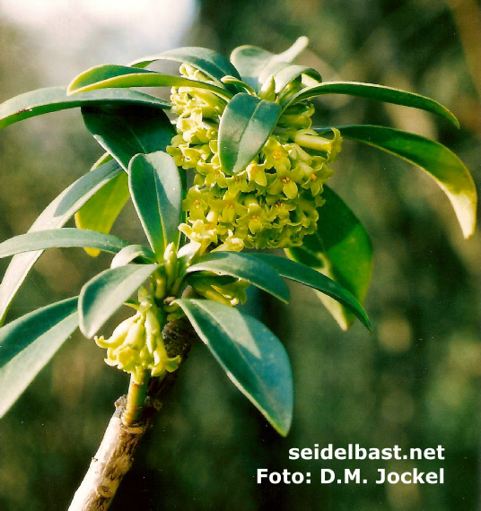 Daphne laureola subsp. philippi blossoms, 'Lorbeer Seidelbast'