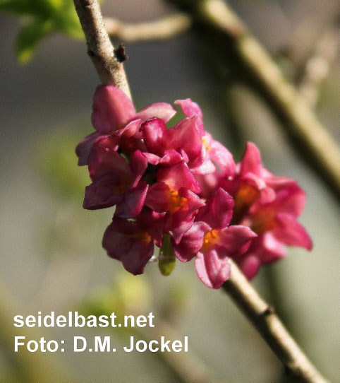 older blossoms of Daphne x 'Winter-Glow' turned intensive red