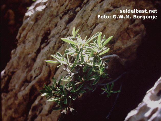 Daphne alpina -Alpen-Seidelbast- in rock crevice at Esteng, Pyrenees, France