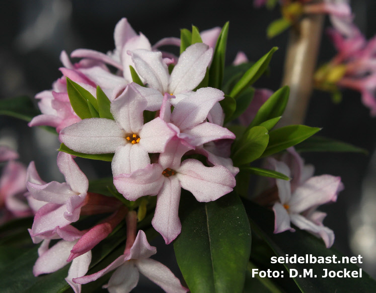 Daphne wolongensis, blossoms close-up, 'Wolong Seidelbast'