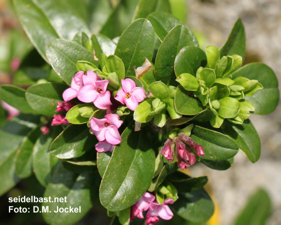 Daphne x 'Rosy Wave' flowering branch