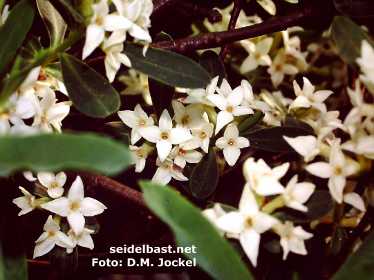 view through a flowering Daphne alpina shrub, -Alpen-Seidelbast