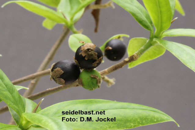 Daphne bholua black fruits