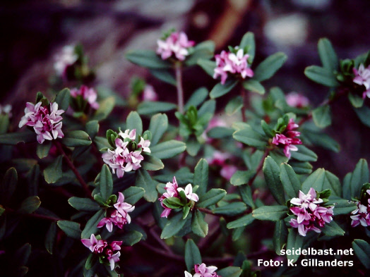 Daphne tangutica at Zhongdian, Yunnan, China