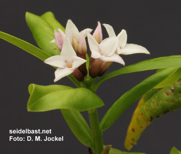 Daphne x 'Spring Herald' inflorescence close-up