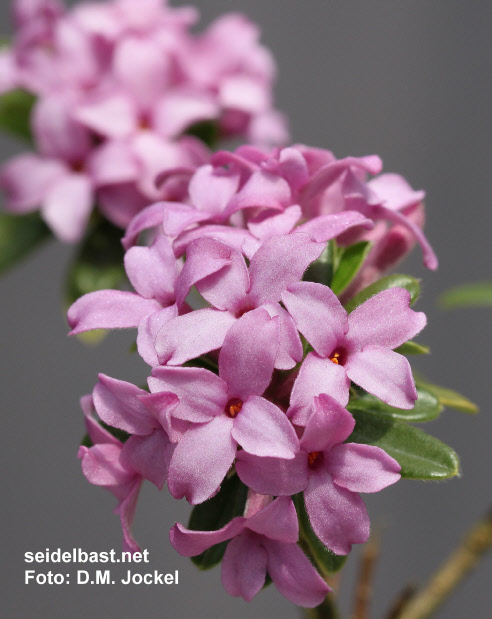 Daphne x medfordensis 'Cheriton' blossoms close-up, 'Medford Seidelbast'