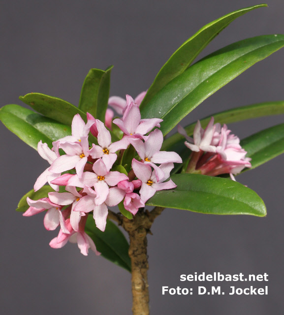 Daphne wolongensis, rich flowering, 'Wolong Seidelbast'