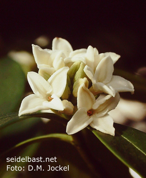 Daphne odora 'Alba' inflorescence close-up, 'Duft Seidelbast'