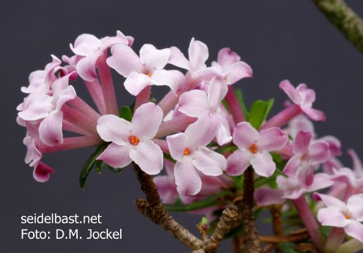 flowers close-up of Daphne X rodriguezii x arbuscula, 1