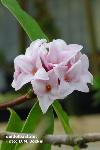 inflorescence close-up of Daphne x 'Pompom-Pink'