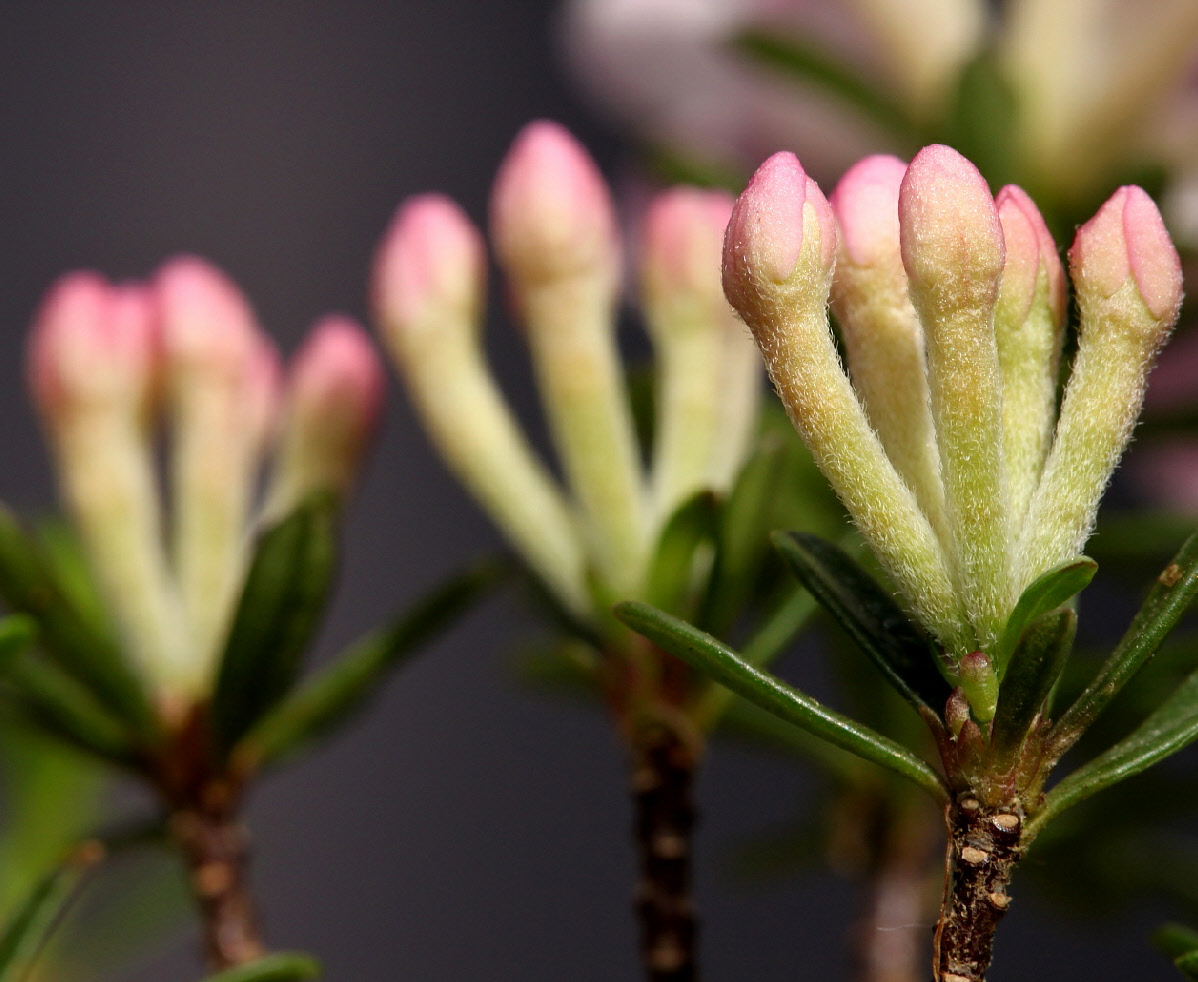 Daphne arbuscua flowers in bud, close up
