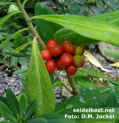 Daphne jezoensis red fruits, in garden