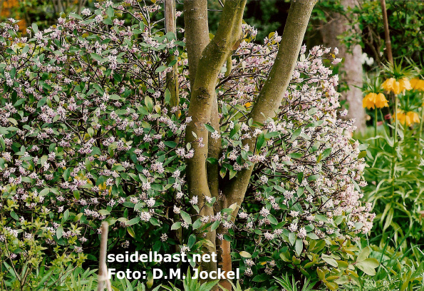 Daphne odora growing outside in the Netherlands, 'Duft Seidelbast'