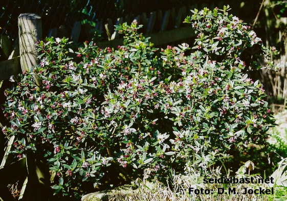 Daphne tangutica flowering shrub