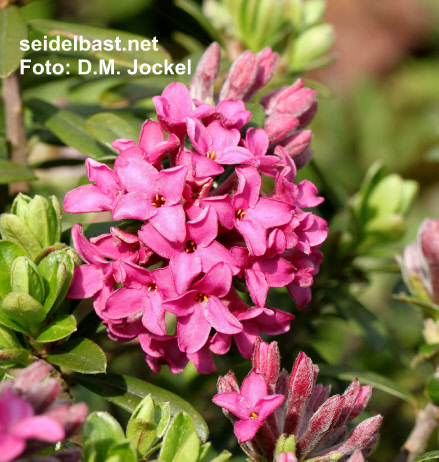 flowers close-up of Daphne x 'Red Pearl', Seidelbast- 'Rote Perle'