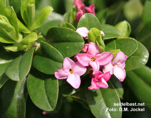 Daphne x 'Rosy Wave' blossoms close-up