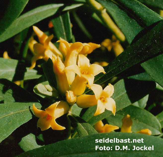 Daphne giraldii blossoms, close-up, 'Giraldi's Seidelbast'