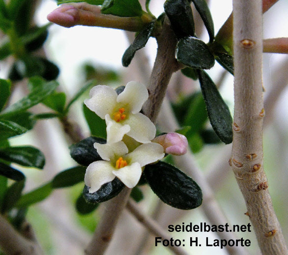 flowers close up of Daphne rodriguezii, Rodriguez'-Seidelbast