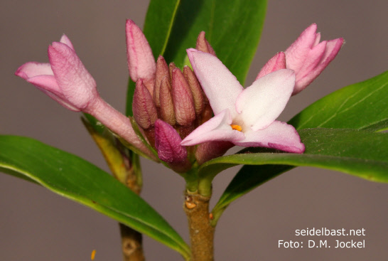 Daphne x 'Spring Beauty' inflorescence close-up, 'Seidelbast-Frühlingsschönheit'