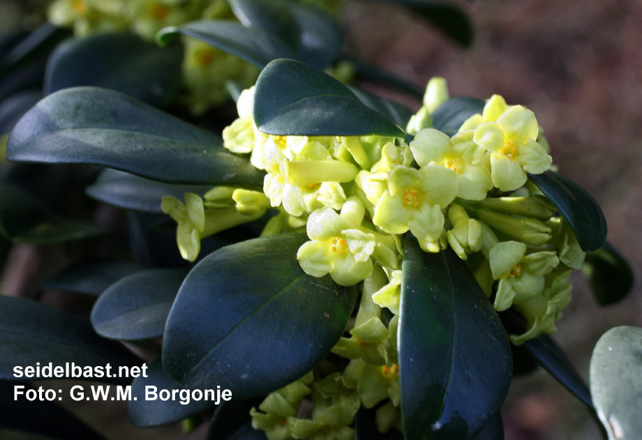 Daphne laureola subsp. philippi blossoms, close-up, 'Lorbeer Seidelbast'