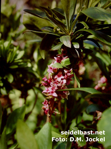 Aging flowers of Daphne x houtteana 'Chameleon', the colour of the blossoms changes from greenish-white into red colour 3
