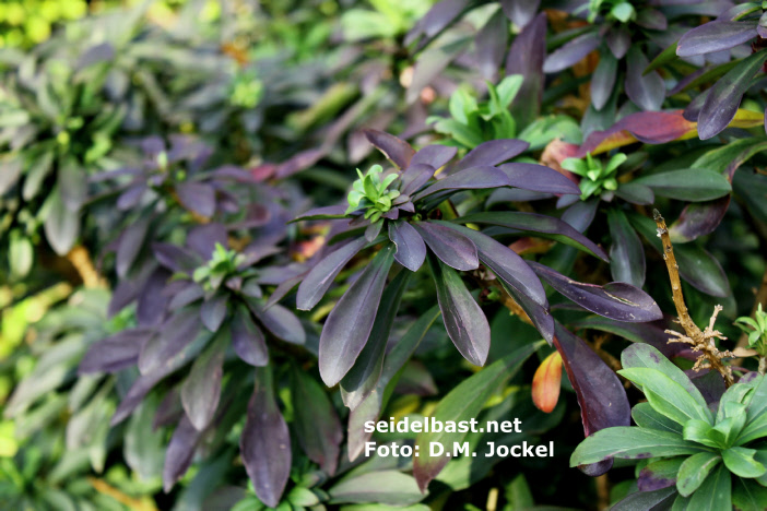 Daphne x houtteana 'Chameleon'  dark coloured leaves, -'Houttes Seidelbast'