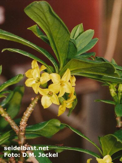 Daphne jezoensis yellow inflorescence close-up, pot cultivation