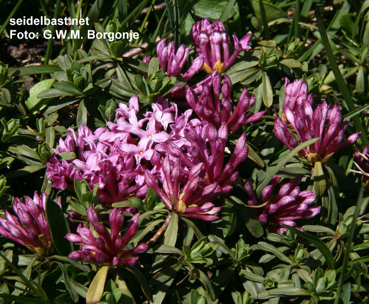 blossoms close-up of Daphne striata, Engadin, Switzerland,-'Kahles Steinröschen' oder auch 'gestreifter Seidelbast'