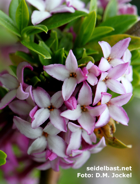 Daphne tangutica blossoms close up