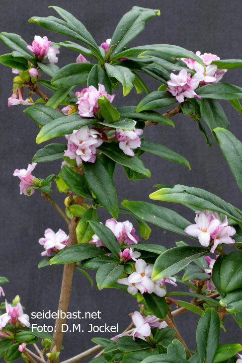 view on big flowering branch of Daphne x 'Pompom-Pink'