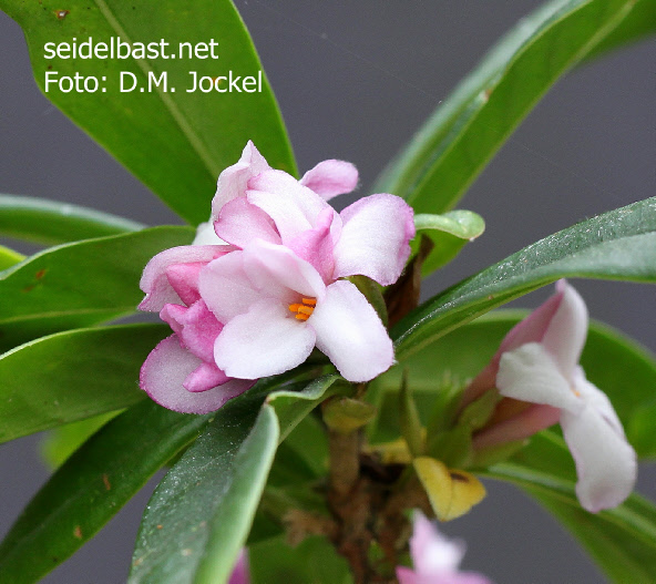 Daphne x 'Pompom-Pink' blossoms close-up