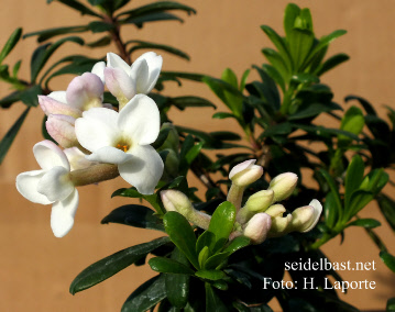 Daphne x 'Colinton Crown' blossoms
